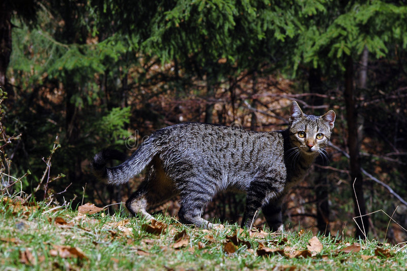 Cacciatore del gatto fotografia stock immagine di come - Immagine del gatto a colori ...