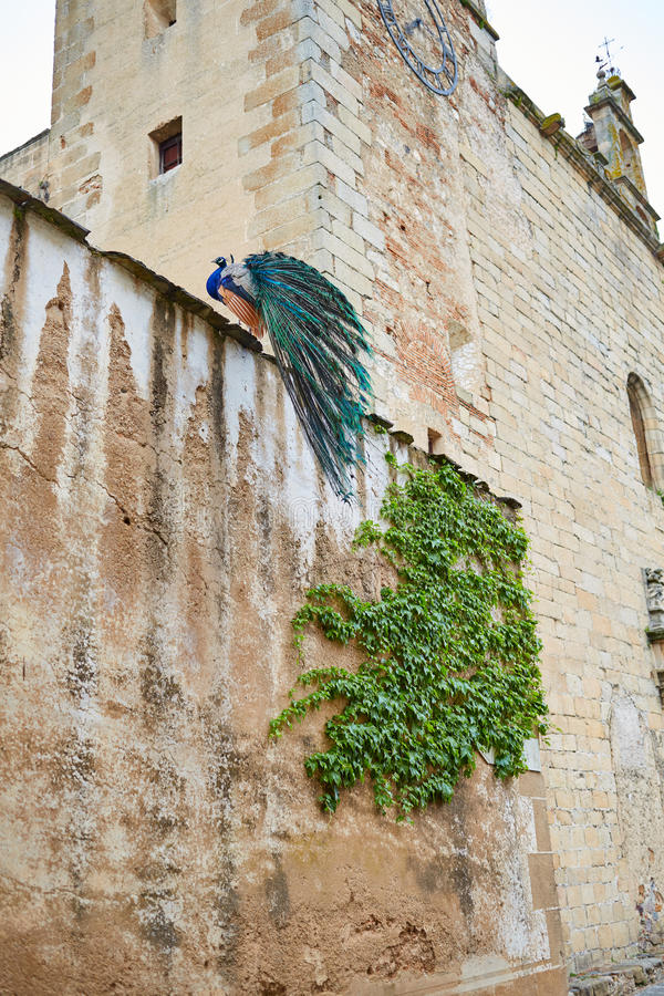 Caceres Peacock in old city wall at Extremadura royalty free stock photography