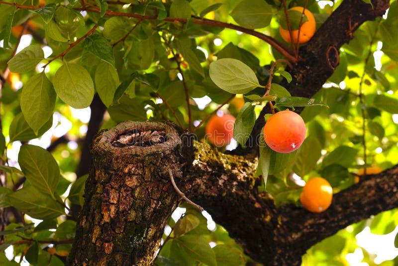 Cachi di maturazione sull'albero immagini stock libere da diritti