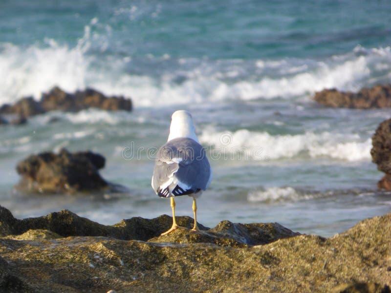 cachinnans Jaune-à jambes l'Atlantide de Larus de mouette images stock
