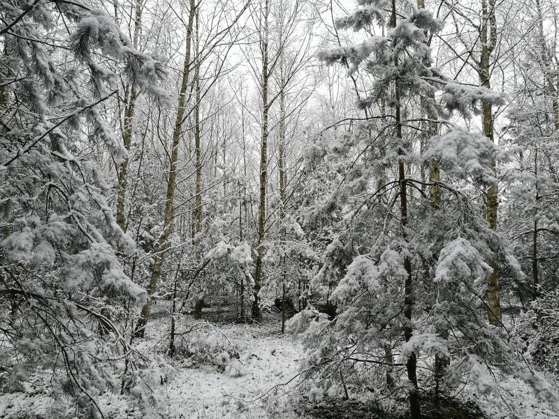 Cacho da neve da floresta do inverno fotos de stock royalty free