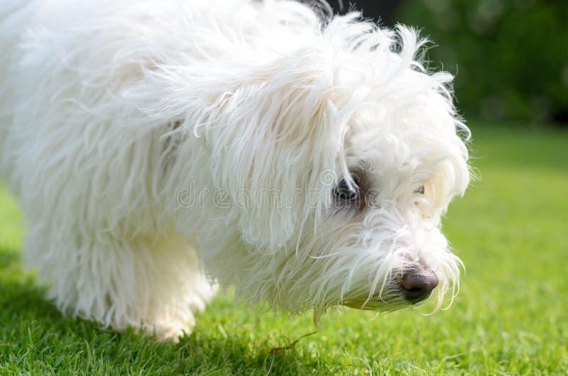 Cachorrinho adorável, curioso que aspira na grama verde imagem de stock