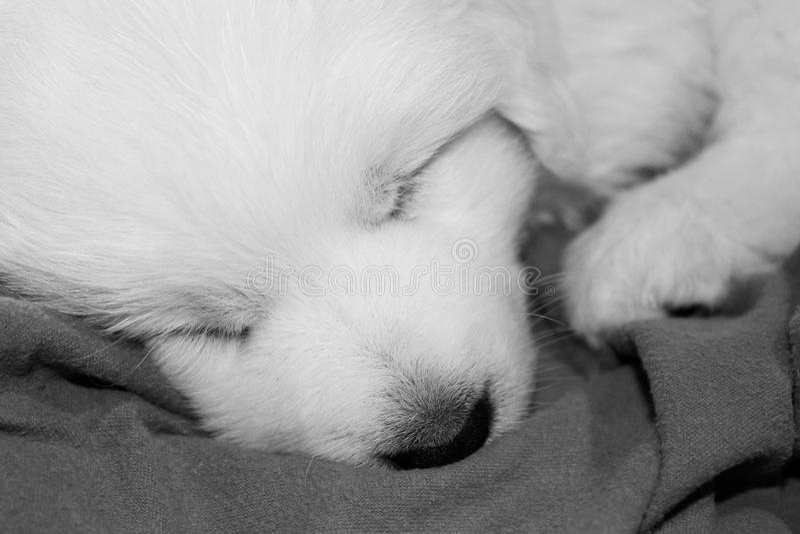 Cachorrinho adorável de grandes Pyrenees adormecido na cobertura fotografia de stock royalty free