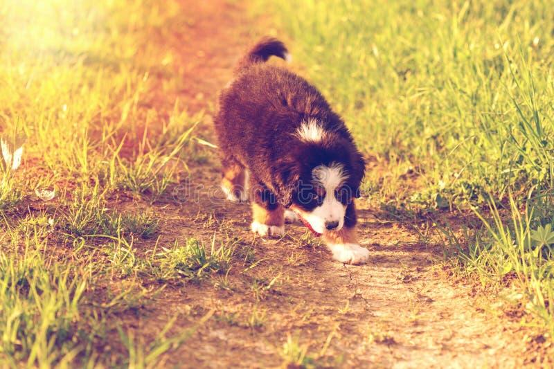 Cachorrinho adorável do cão de montanha bernese imagem de stock royalty free