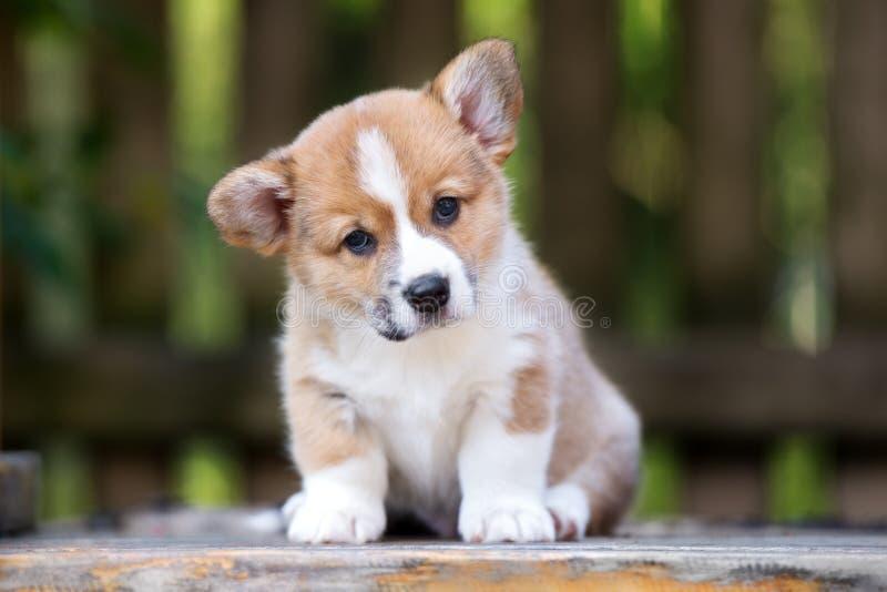cachorrinho adorável do corgi de galês que levanta fora imagem de stock royalty free