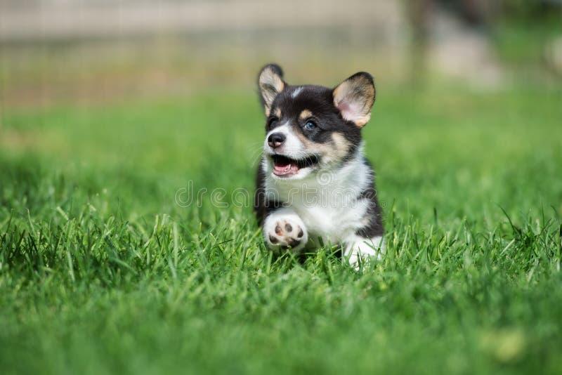 Cachorrinho adorável do corgi que corre fora fotografia de stock royalty free