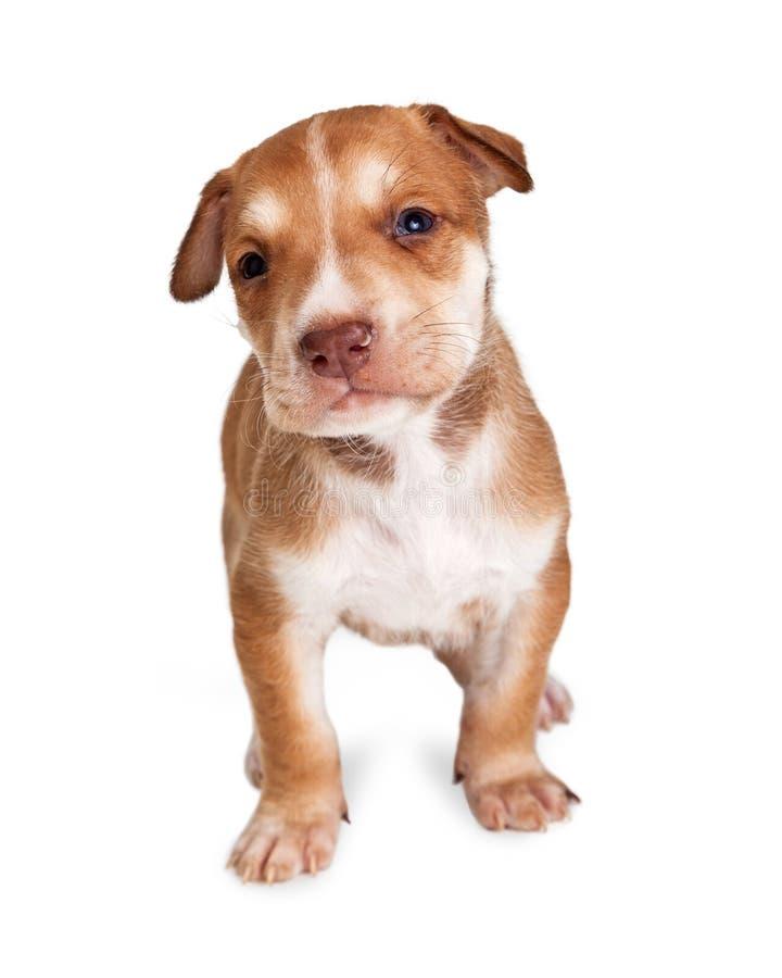 Cachorrinho adorável do híbrido de Brown fotografia de stock