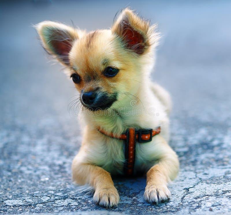 Cachorrinho adorável encantador pequeno da chihuahua no fundo borrado Assento na terra imagens de stock royalty free