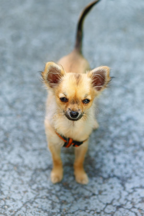 Cachorrinho adorável encantador pequeno da chihuahua no fundo borrado Contato de olho fotografia de stock