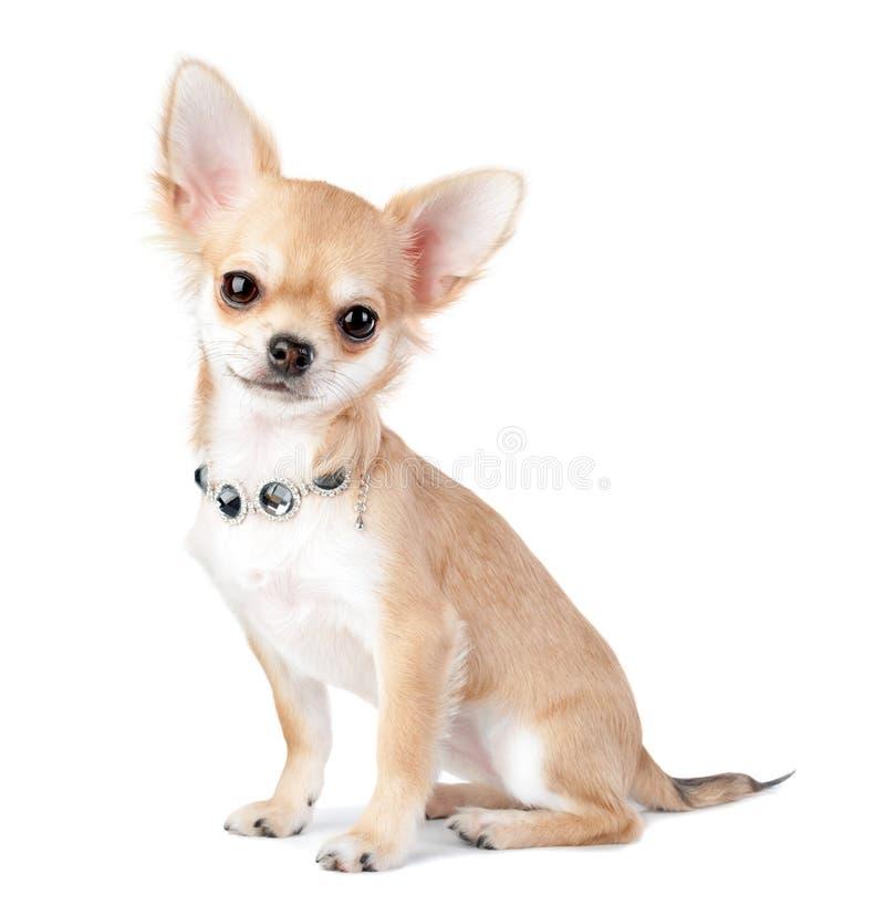 Cachorrinho agradável da chihuahua com a joia isolada no branco foto de stock royalty free