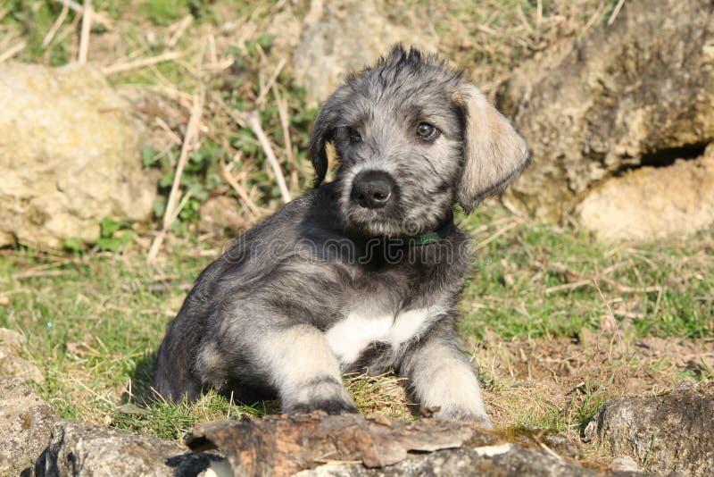 Cachorrinho agradável do cão caçador de lobos irlandês fotografia de stock