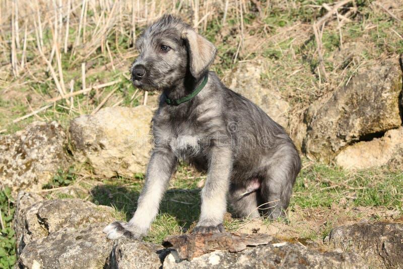 Cachorrinho agradável do cão caçador de lobos irlandês fotografia de stock royalty free