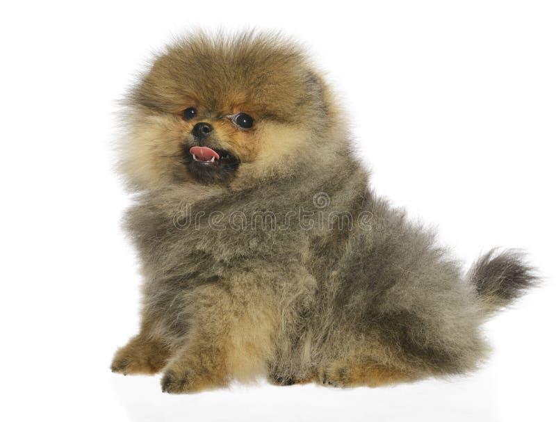 Cachorrinho alemão do Spitz fotografia de stock