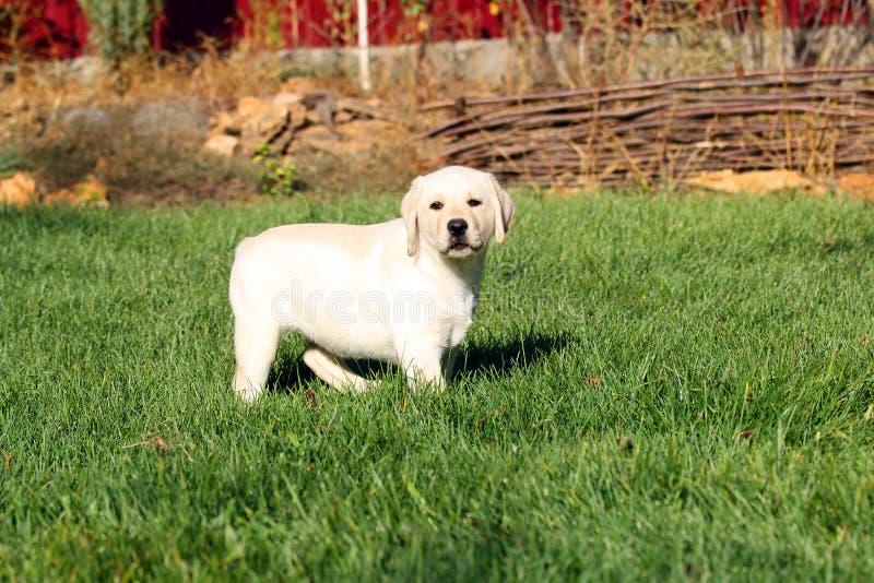 Cachorrinho amarelo bonito pequeno agradável de Labrador no verão imagens de stock royalty free