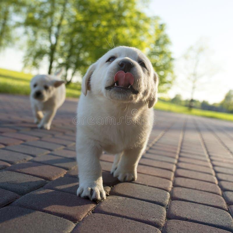 Cachorrinho amarelo de Labrador na ação imagem de stock royalty free
