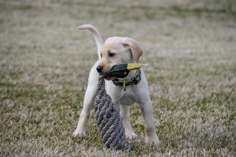 Cachorrinho amarelo de labrador retriever com Duck Toy fotografia de stock