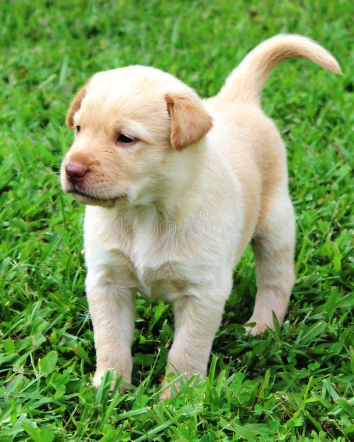 Cachorrinho amarelo do laboratório fotografia de stock royalty free
