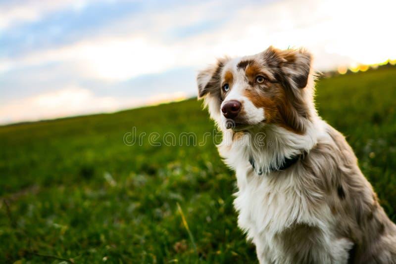 Cachorrinho australiano do pastor do merle vermelho bonito que senta-se no prado no por do sol foto de stock royalty free