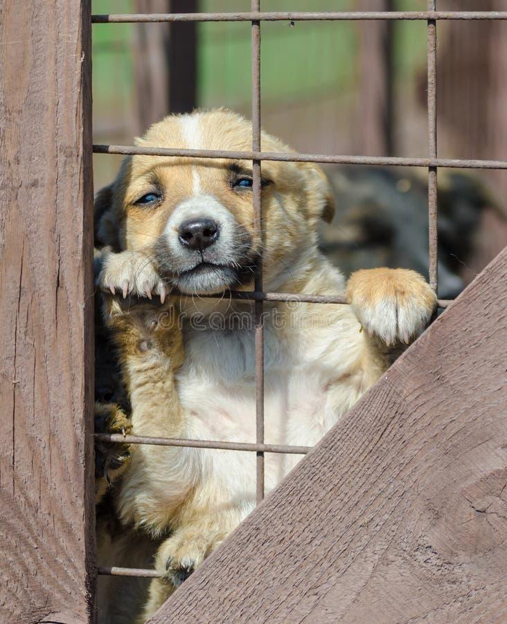 Cachorrinho bege do puro-sangue em uma gaiola de madeira fotografia de stock royalty free