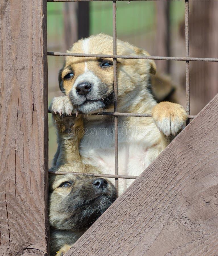 Cachorrinho bege do puro-sangue em uma gaiola de madeira imagem de stock royalty free