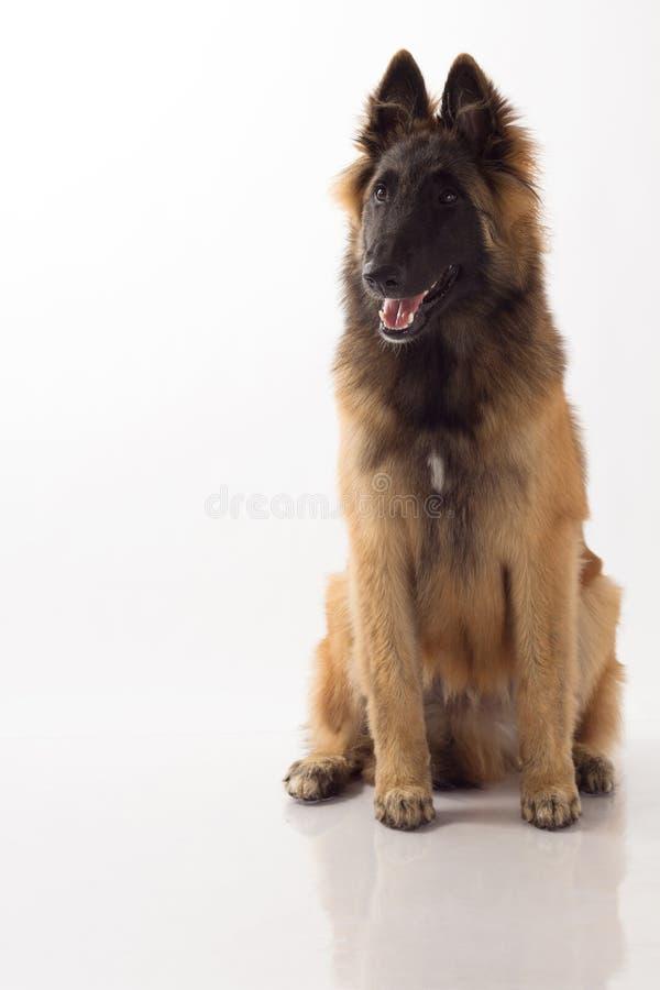Cachorrinho belga do cão de Tervuren do pastor fotos de stock