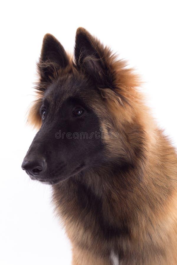 Cachorrinho belga do cão de Tervuren do pastor foto de stock