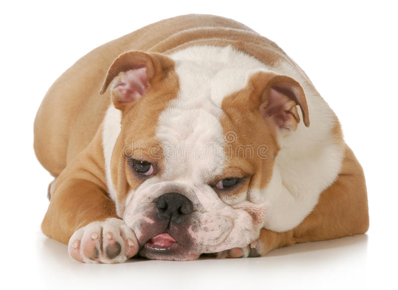 Cachorrinho bonito fotografia de stock