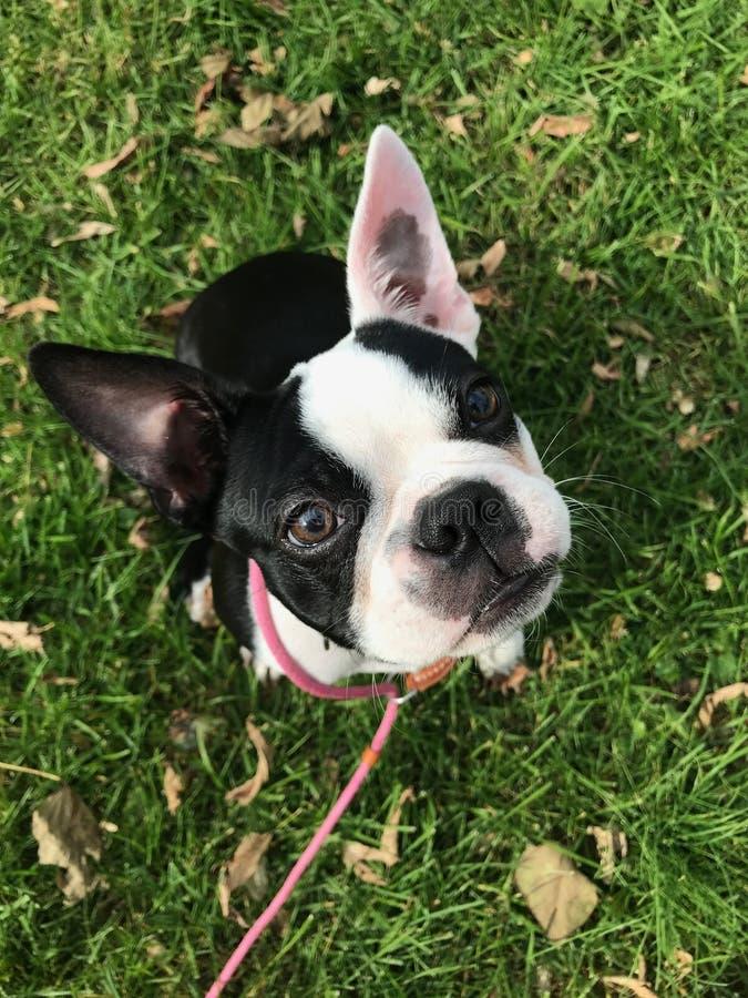 Cachorrinho bonito, Boston Terrier imagem de stock royalty free