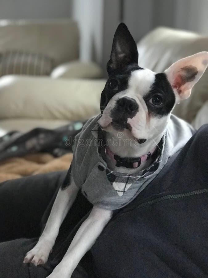Cachorrinho bonito, Boston Terrier foto de stock