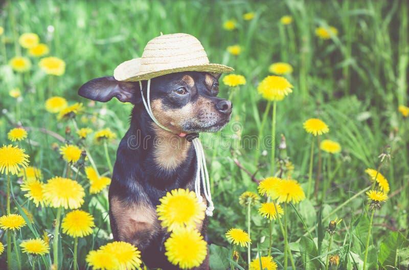 Cachorrinho bonito, c?o em um chap?u de palha cercado por cores amarelas da mola em um prado florescido, retrato de um c?o ver?o  imagens de stock