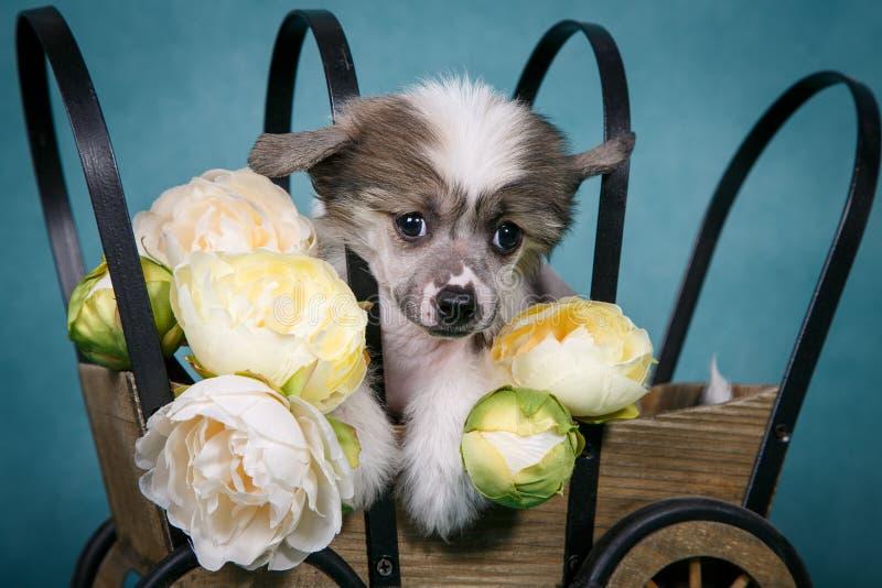 Download Cachorrinho Bonito Com Crista Chinês Que Senta-se Em Um Carro Com Flores Imagem de Stock - Imagem de puppy, amarelo: 65576741