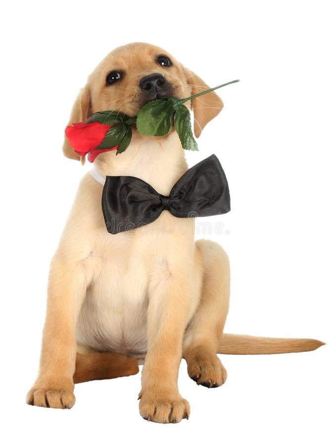 Cachorrinho bonito de Labrador com Rosa fotos de stock royalty free
