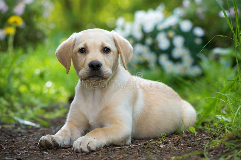 Cachorrinho bonito de labrador retriever que encontra-se em um jardim imagens de stock royalty free