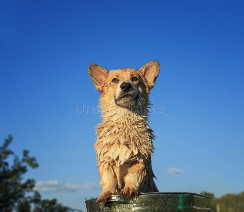 Cachorrinho bonito de lavagens do corgi em uma calha do metal na rua engraçada esticando para fora as patas e as orelhas molhadas fotos de stock royalty free