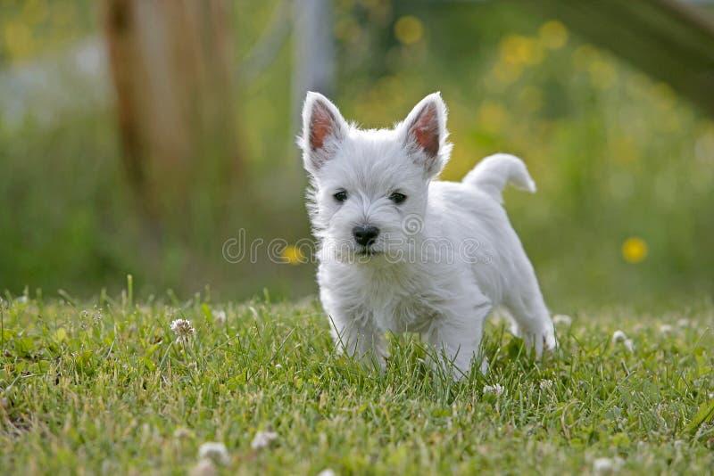 Cachorrinho bonito de Westie na jarda fotos de stock royalty free