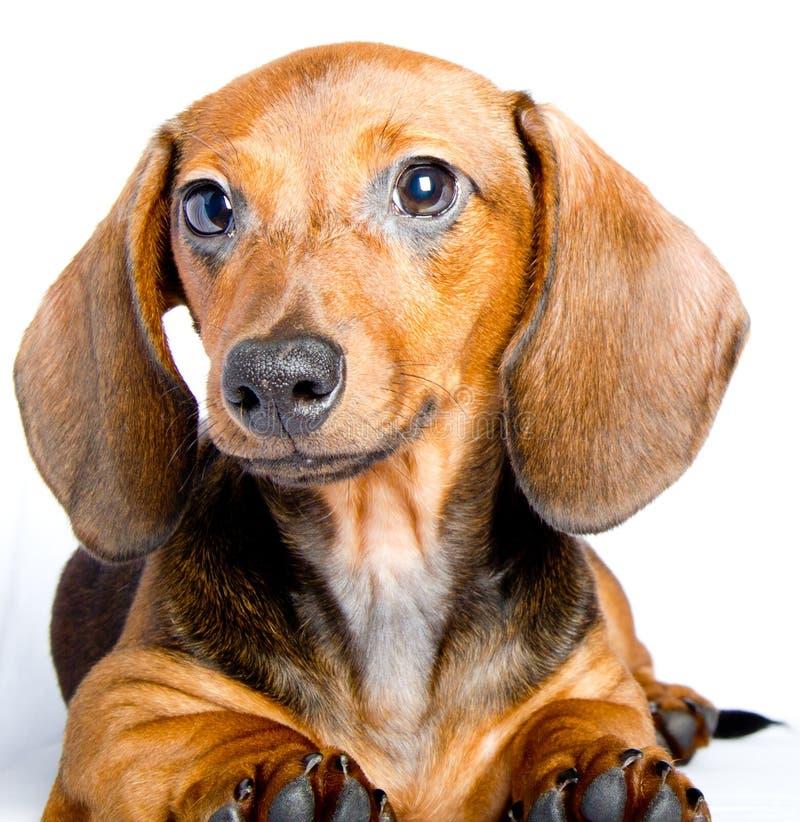 Cachorrinho bonito do bassê que encontra-se perto foto de stock royalty free