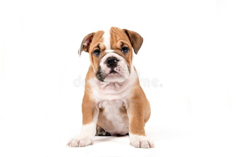 Cachorrinho bonito do buldogue inglês fotos de stock