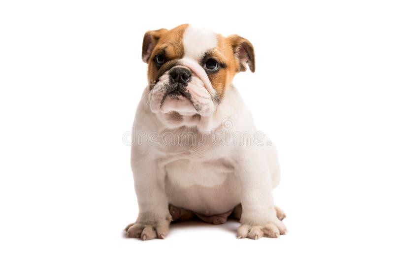 Cachorrinho bonito do buldogue inglês isolado no fundo branco fotografia de stock