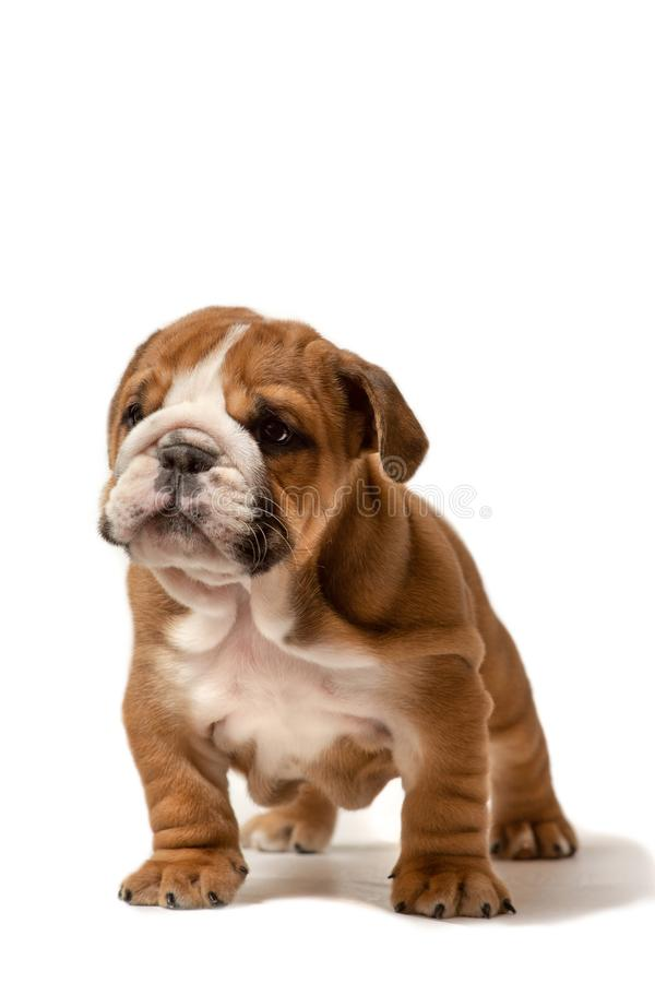 Cachorrinho bonito do buldogue ingl?s isolado no fundo branco fotos de stock
