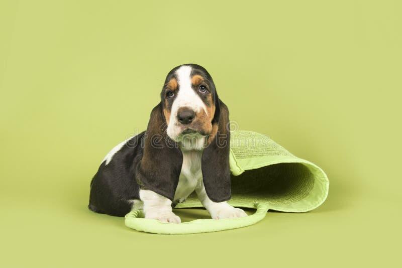 Cachorrinho bonito do cão de basset que senta-se com um saco verde da praia em um gree foto de stock royalty free