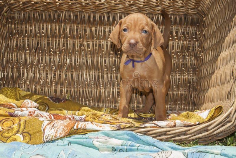 Cachorrinho bonito do cão húngaro em uma cesta de vime foto de stock royalty free