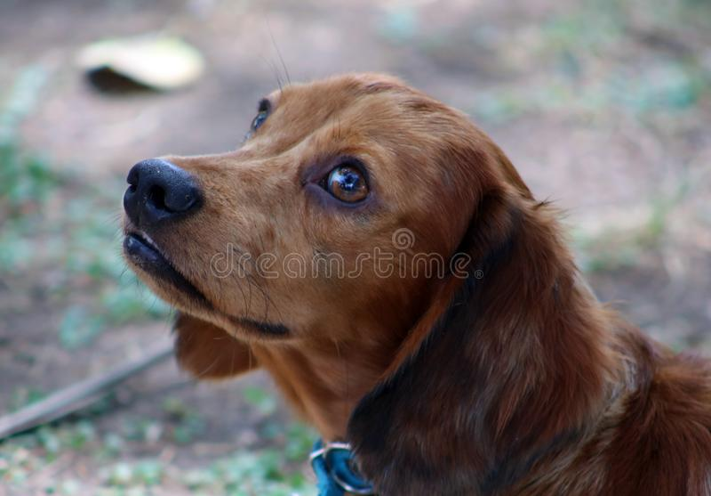 Cachorrinho bonito do cão pequeno bonito da salsicha do bassê imagem de stock
