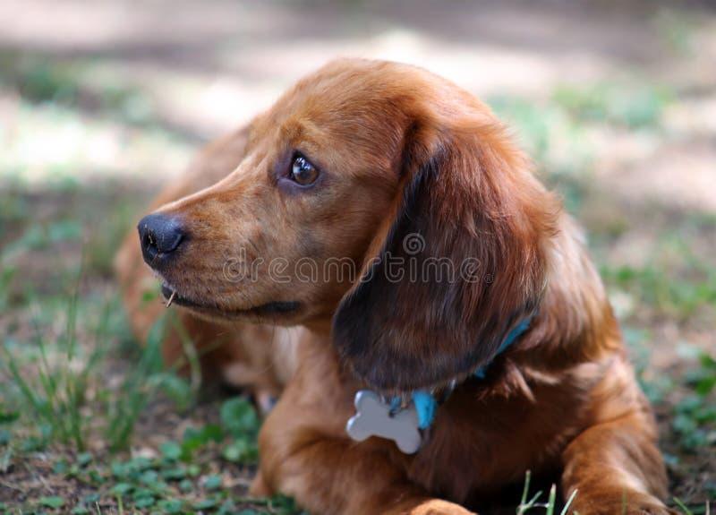 Cachorrinho bonito do cão pequeno bonito da salsicha do bassê imagem de stock royalty free