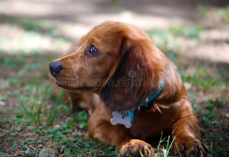 Cachorrinho bonito do cão pequeno bonito da salsicha do bassê foto de stock