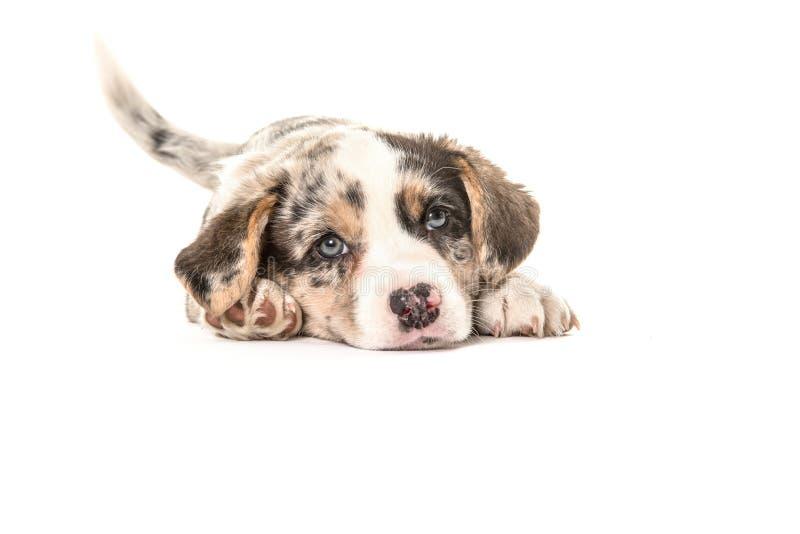 Cachorrinho bonito do corgi de galês que encontra-se para baixo imagem de stock