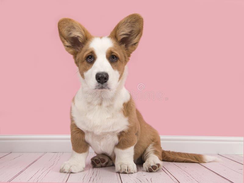 Cachorrinho bonito do corgi do pembroke de galês em uma sala de visitas cor-de-rosa foto de stock