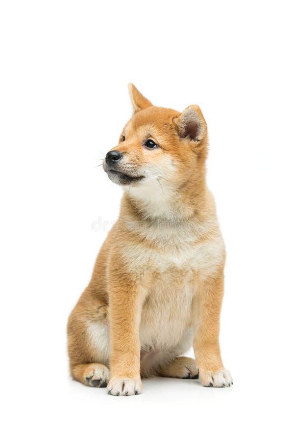 Cachorrinho bonito do inu do shiba isolado no branco imagens de stock