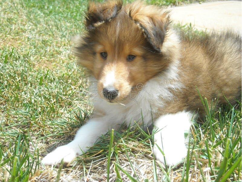 Cachorrinho bonito do sheltie fotos de stock