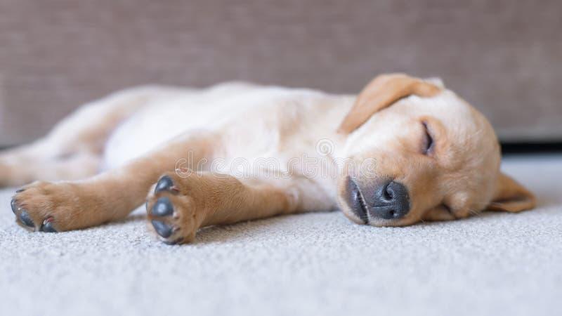 Cachorrinho bonito do sono Labrador foto de stock