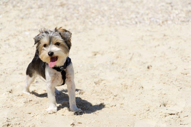 Cachorrinho bonito do yorkshire terrier de Biewer na praia foto de stock royalty free